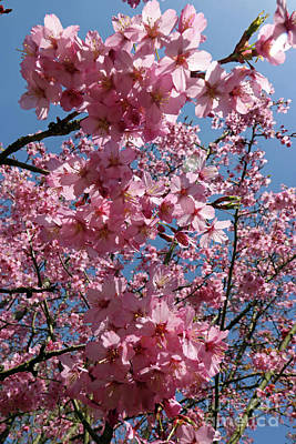 Photograph - Cherry Blossom Tree And Blue Sky by Julia Gavin