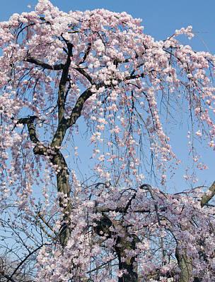 Botanic Photograph - Cherry Blossom Tree by Lise-Lotte Larsson