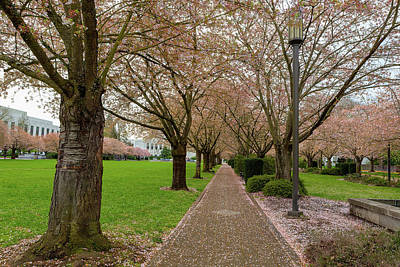 Photograph - Cherry Blossom Trees Along Path At Park In Salem Oregon by Jit Lim