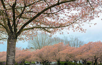 Photograph - Cherry Blossom Trees Full Bloom In Salem Oregon by Jit Lim