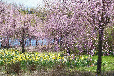 Photograph - Cherry Blossom Trees Of Branch Brook Park 11  by Allen Beatty