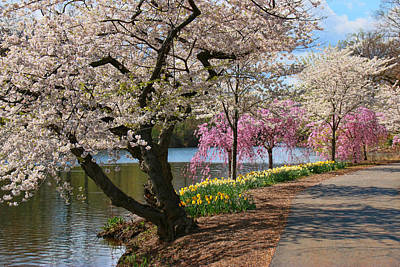 Photograph - Cherry Blossom Trees Of Branch Brook Park 17 by Allen Beatty