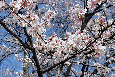 Photograph - Cherry Blossom Trees Of Branch Brook Park 18 by Allen Beatty