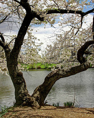 Photograph - Cherry Blossom Trees Of Branch Brook Park 19 by Allen Beatty