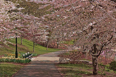 Photograph - Cherry Blossom Trees Of Branch Brook Park 22 by Allen Beatty