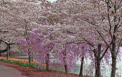 Rights Managed Images - Cherry Blossom Trees of Branch Brook Park 24 Royalty-Free Image by Allen Beatty