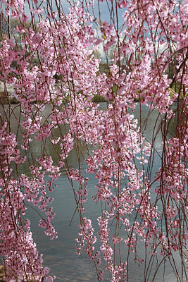 Photograph - Cherry Blossom Trees Of Branch Brook Park 25 by Allen Beatty