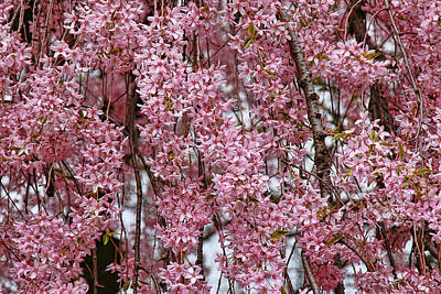 Photograph - Cherry Blossom Trees Of Branch Brook Park 26 by Allen Beatty