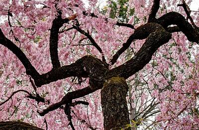 Photograph - Cherry Blossom Trees Of Branch Brook Park 28 by Allen Beatty