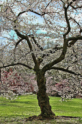 Photograph - Cherry Blossom Trees Of Branch Brook Park 31 by Allen Beatty