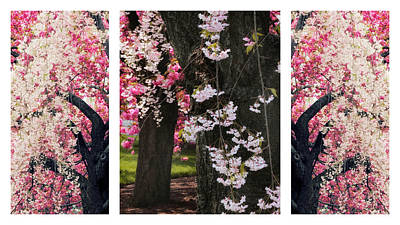 Photograph - Cherry Blossom Triptych by Jessica Jenney