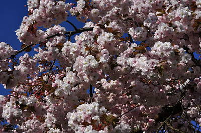 Photograph - Cherry Blossom Viewing And Blue Sky by Martin Stankewitz