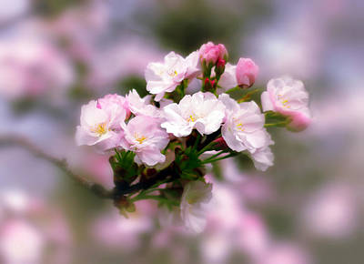 Paste Photograph - Cherry Blossom Whispers by Jessica Jenney