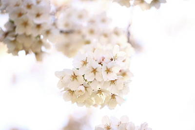 Photograph - Cherry Blossoms - A by Anthony Rego