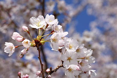 Photograph - Cherry Blossoms - B by Anthony Rego
