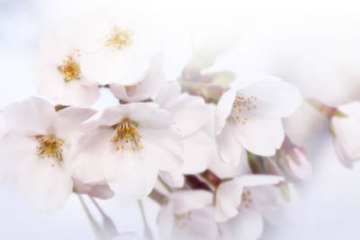Photograph - Cherry Blossoms - C by Anthony Rego