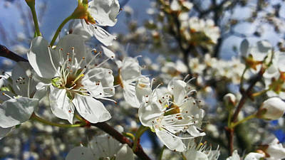 Photograph - Cherry Blossoms 1 by Harold Zimmer