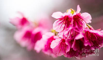 Photograph - Cherry Blossoms 10 by Steven Hendricks