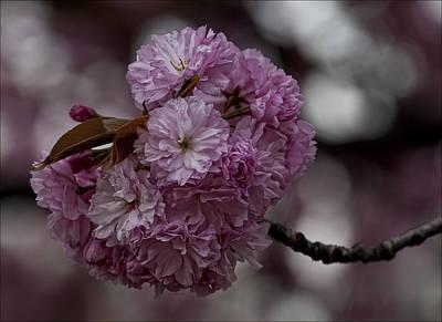 Cherry Blossoms 2 Art Print by Robert Ullmann