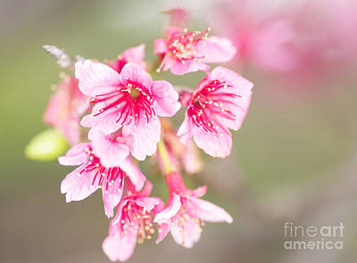 Photograph - Cherry Blossoms 2 by Steven Hendricks