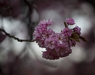 Cherry Blossoms 3 Art Print by Robert Ullmann