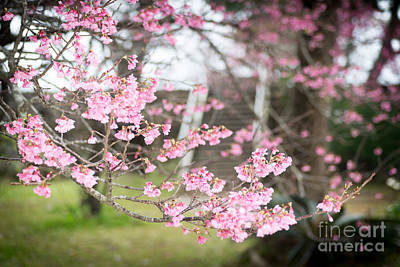 Photograph - Cherry Blossoms 4 by Steven Hendricks