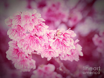 Photograph - Cherry Blossoms 5 by Steven Hendricks