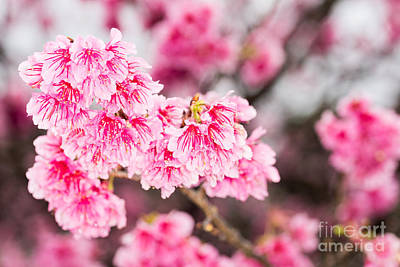 Photograph - Cherry Blossoms 6 by Steven Hendricks