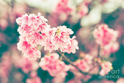 Photograph - Cherry Blossoms 7 by Steven Hendricks