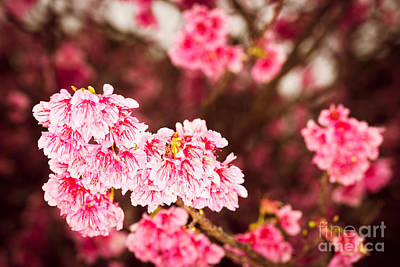 Photograph - Cherry Blossoms 8 by Steven Hendricks
