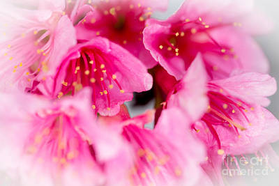 Photograph - Cherry Blossoms 9 by Steven Hendricks