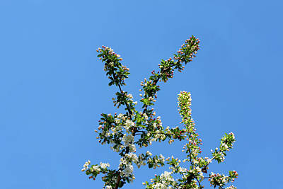 Reaching For Heaven Photograph - Cherry Blossoms Against The Sky by Susan Vineyard