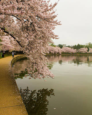 Cherry Blossoms Along The Tidal Basin 8x10 Art Print
