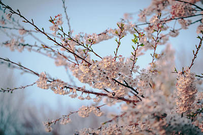 Photograph - Cherry Blossoms by Amber Flowers