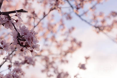 Photograph - Cherry Blossoms by Ana V Ramirez