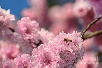 Photograph - Cherry Blossoms And A Bee By Kaye Menner by Kaye Menner
