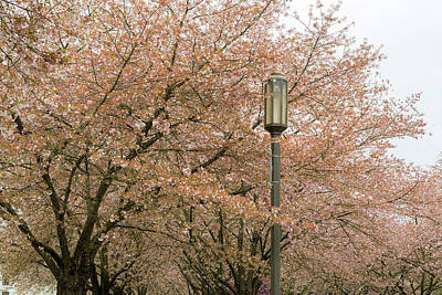 Photograph - Cherry Blossoms And Lamp Post by Jit Lim