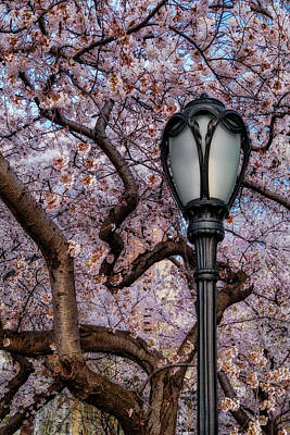 Photograph - Cherry Blossoms At Central Park Nyc by Susan Candelario