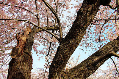 Photograph - Cherry Blossoms And Its Bark by Cora Wandel