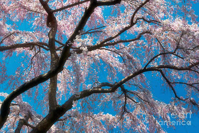 Cherry Blossom Photograph - Cherry Blossoms Blooming Two by Susan Isakson