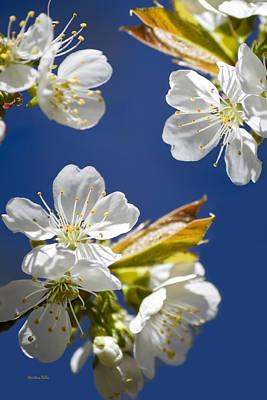 Photograph - Cherry Blossoms by Christina Rollo