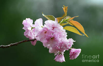 Photograph - Cherry Blossoms by Cindy Manero