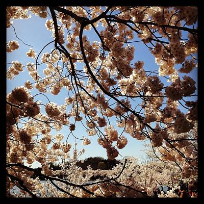 David Bowie Royalty Free Images - Cherry Blossoms DC 3 Royalty-Free Image by Will Felix