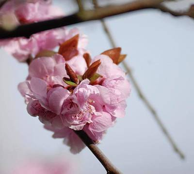 Photograph - Cherry Blossoms by Devon LeBoutillier