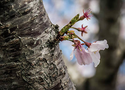 Photograph - Cherry Blossoms by Elijah Knight