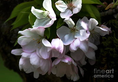 Photograph - Cherry Blossoms by Erica Hanel