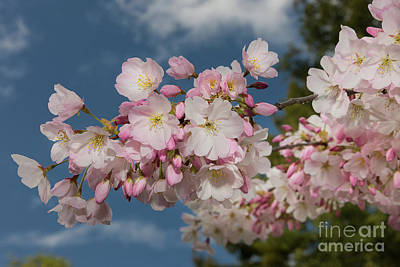 Photograph - Cherry Blossoms Fav by Glenn Franco Simmons