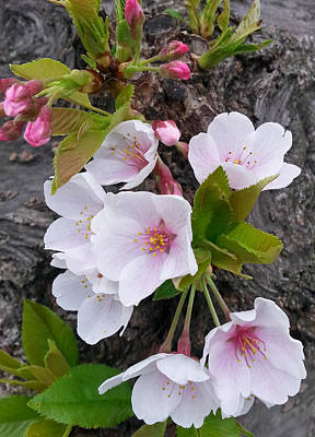 Photograph - Cherry Blossoms Growing On Tree Trunk by Emmy Marie Vickers