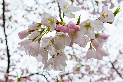 Photograph - Cherry Blossoms I by Gene Norris