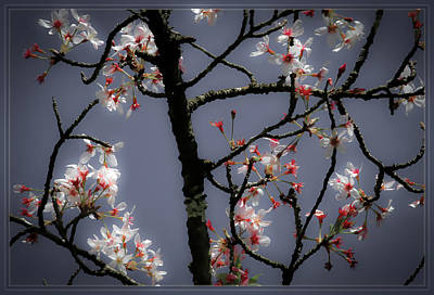 Photograph - Cherry Blossoms Illuminati by Bonnie Follett
